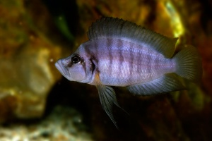 altolamprologus-sp-compressiceps-afcc.1