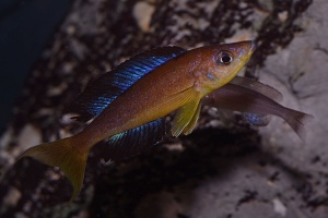 cyprichromis-microlepidotus-afc.1