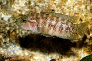 neolamprologus-obscurus-afc.1