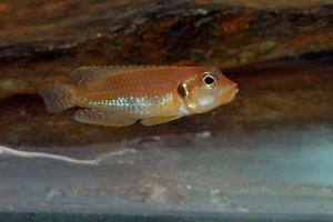 neolamprologus-ocellatus-afc.1