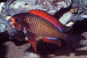tropheus-red-kachese-afc.1